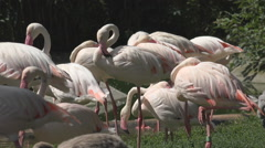 Colony wild flamingo bird relax lake water search food sunny day wildlife life Stock Footage