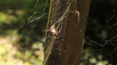 Two Banana Spiders Sharing a Meal Stock Footage