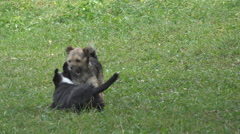 Adorable dog playing green grass summer day domestic animal wild fight puppy fur - stock footage