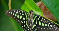 4K Tailed Jay Butterfly, Green and Black, Macro Shot Stock Footage