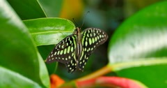 4K Green and Black Butterfly, Close Up, Tailed Jay Stock Footage