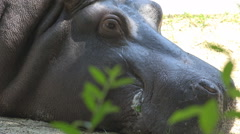 Closeup hippopotamus head rest shade tree summer hot day wild animal big eyes Stock Footage