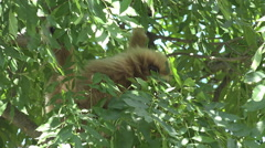 Beautiful gibbon monkey rest tree branch looking camera summer day wild animal Stock Footage