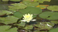 Stock Video Footage of Beautiful lotus flower yellow blossom lake water green leaf sunny day natural