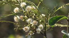 Cerrado Biome. Brazilian forest. Angico branco do cerrado Stock Footage