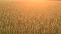 sunset on the the rice fields - stock footage