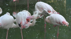 Group flamingo bird rest relax pond water scratch pink plumage day wildlife wild Stock Footage