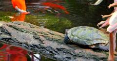 4K Tortoise and Flamingo, Koi Birds in Stream Stock Footage