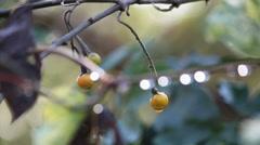 Cerrado Biome. Brazilian forest. Exotic fruit. Stock Footage
