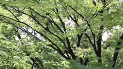 Green leaves fluttering in the wind at Yoyogi Park, Tokyo, Japan Stock Footage