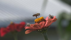 Closeup detail bee gathering pollen blossom flower spring season day wild insect Stock Footage