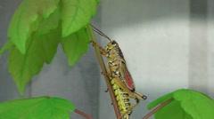 Romalea Guttata - Eastern Lubber Grasshopper Climbs Tree Infront Of Window 2 4K Stock Footage