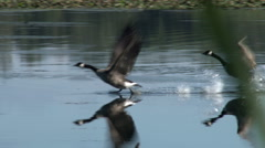 Canada Geese In Flight Stock Footage