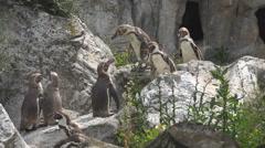 Beautiful penguin bird animal relax stone hill down rock sunny day wild habitat  Stock Footage