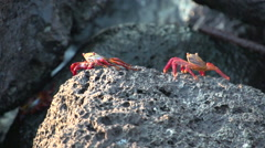 Red Rock Crabs at the rocks at the Galapagos Islands, Ecuador Stock Footage