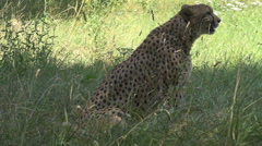 Beautiful cheetah mammal looking hunt summer hot day wildlife powerful feline  Stock Footage