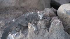Land Iguana on the rocks walking away at the Galapagos Islands, Ecuador Stock Footage