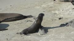 Baby sea lion at the beach in San Cristobal, Galapagos Islands, Ecuador Stock Footage