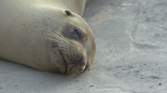 Close up from a Sea Lion sleeping on the beach Galapagos Islands, Ecuador - stock footage