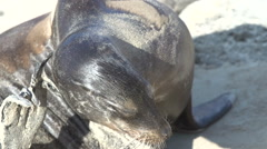 Sea lion with itchy skin at the Galapagos Islands, Ecuador Stock Footage