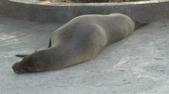 Sea lion sleeping at the boardwalk San Cristobal, Galapagos Islands, Ecuador Stock Footage