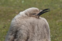 King penguin (aptenodytes patagonicus) chick, the neck, saunders island, falk Stock Photos
