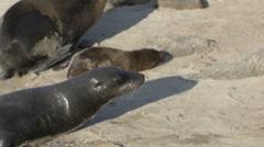 Sea lion moving forward funny at the beach Galapagos Islands, Ecuador Stock Footage