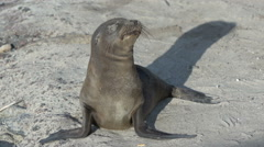 Funny young sea lion with sandy eyes at the Galapagos Islands, Ecuador Stock Footage