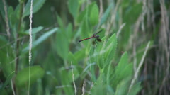 Brown Dragonfly On Green Leaf Stock Footage
