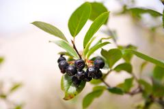 Ripe aronia black fruits sag Stock Photos