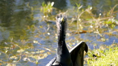 "Anhinga Male Dries Wings, ""Hair"" in MCU of head, shoulders Stock Footage"