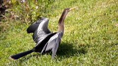 Anhinga Female Beauty Shot Stock Footage