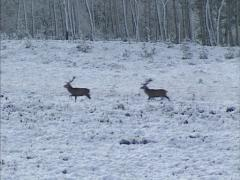 Adult Red Deer (cervus elaphus) across snow covered heathland Stock Footage