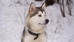 Husky Dog in Winter Forest Stock Footage