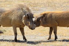 a couple of warthogs (phacochoerus africanus) during the courtship in ngorong - stock photo