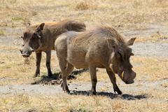 A couple of warthogs (phacochoerus africanus) in ngorongoro conservation area Stock Photos