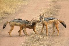 a family of black-backed jackals (canis mesomelas), a cub sniffing the mother - stock photo