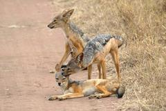 a family of black-backed jackals (canis mesomelas), the mother grooming a cub - stock photo