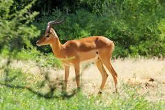 a male impala (aepyceros melampus) in lake manyara national parks, tanzania - stock photo