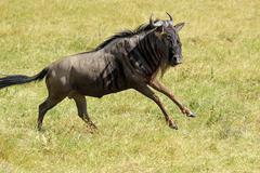 a blue wildebeest (connochaetes taurinus) running in ngorongoro conservation  - stock photo