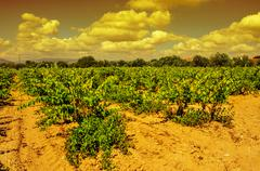 a vineyard in a mediterranean country at sunset - stock photo