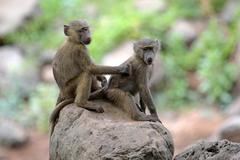 a couple of young olive baboons (papio anubis) sitting on a stone and groomin - stock photo