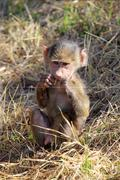 a baby olive baboon (papio anubis) sitting and eating in serengeti national p - stock photo