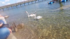 Two swans eat in the lake of starnberg - bayern - germany Stock Footage