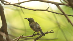 The Olive-backed Sunbird (Cinnyris jugularis) are cleaning the hair and beauty Stock Footage