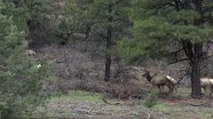 Wildlife herd of Rocky Mountain Elk in forest 4K 206 Stock Footage