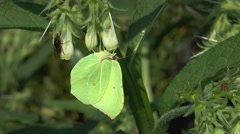 brimstone (Gonepteryx rhamni) and fly sucking nectar from a wild flower closeup - stock footage