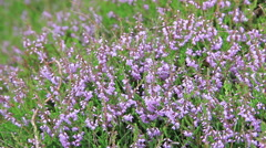 Flowers of heather in Karkonosze National Park Stock Footage