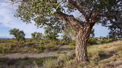 Cottonwood Tree on a Bluff in American West Medium Shot Stock Footage