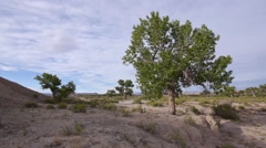 Cottonwood Tree on a Bluff Next to a Dry Wash Wide Shot Stock Footage